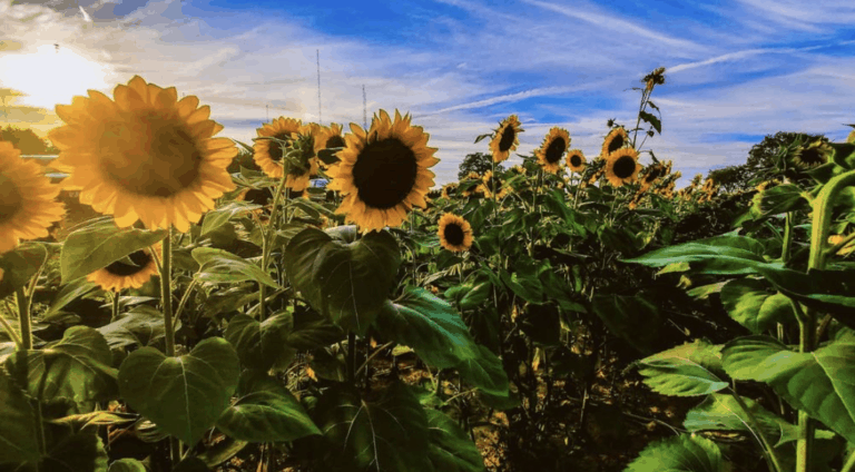 Where to Find the Best Ohio Sunflowers This Year [updated 2021]