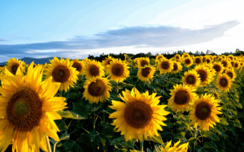 Looking for the best Ohio sunflowers? Here are the best sunflower fields in Ohio.