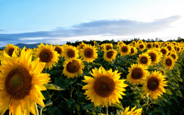 🌻Where to Find the Best Ohio Sunflowers This Year [updated 2021]